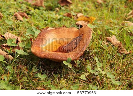 large Lactarius mushroom in the grass with some fallen leaves on its cap