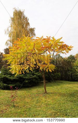 nice staghorn sumac with yellow leaves in the park in autumn
