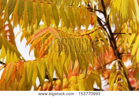 close photo of yellow leaves of staghorn sumac (Rhus typhina) in autumn