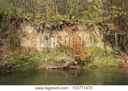 undermined bank of a river with red woodbine in autumn