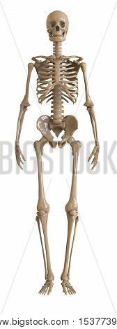 Skeleton front view. Plastic layout of the human skeleton on white background. 3d illustration
