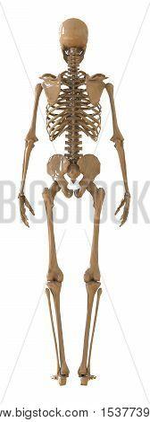 Skeleton rear view. Plastic layout of the human skeleton on white background. 3d illustration