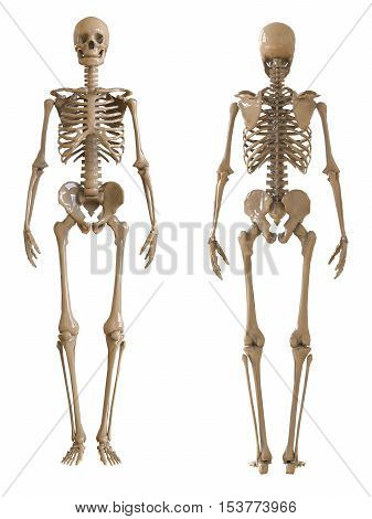 Skeleton front and rear view. Plastic layout of the human skeleton on white background. 3d illustration