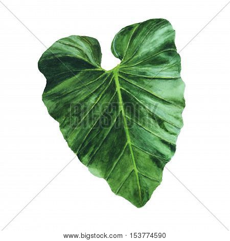 Big tropical leaf isolated on white background.