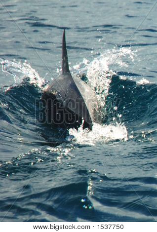 Shot of a dolphin swimming away from the boat off Masali Island in East Africa poster