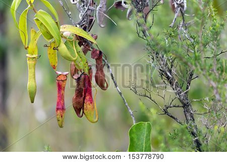 Carnivorous pitcher plant. Nepenthes Gracilis, growing in the Bako National Park. Sarawak. Borneo. Malaysia