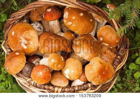 Fresh Edible Mushrooms In Wicker Basket In Autumn Forest Close Up. Boletus Edulis. Wicker Basket With Mushrooms Boletus Edulis In Forest.