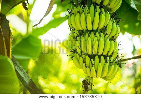Banana tree in the garden at thailand