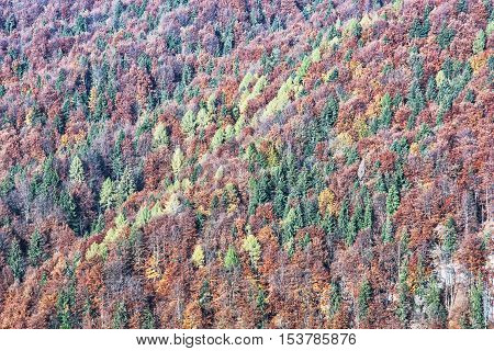 Backround of deciduous and coniferous forest in autumn. Seasonal natural scene. Vibrant colors. Beauty in nature.