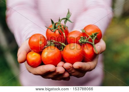 Farmers Hands With Freshly Harvested Tomatoes And Pepper. Freshl