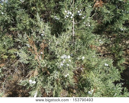 Green krone juniper tree with berries closeup.