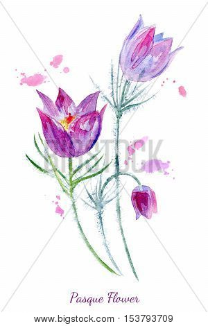 Spring flowers illustration.Pasque flower painting.Watercolor hand drawn illustration.