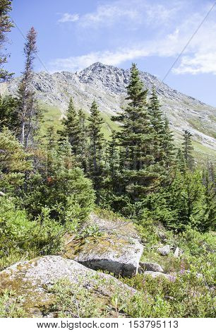 Little forest in mountains over 3000 feet above sea level (Skagway Alaska).