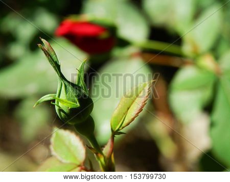 Red Rose bud ready to open in garden selective focus on rose bud with red rose open in the background