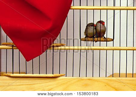 photo in the woods cage birds studio with two birds with red beaks.