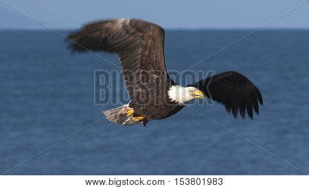 Bald eagle flying over blue water in Homer Alaska