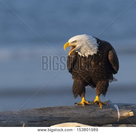Bald eagle calling from log with blue sea background