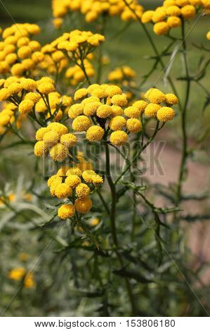 Tansy (Tanacetum vulgare) is a perennial herbaceous flowering plant of the aster family native to Eurasia. It is also known as common tansy bitter buttons cow bitter or golden buttons. Used in medicine