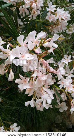 Closeup of Oleander bush with beautiful flowers
