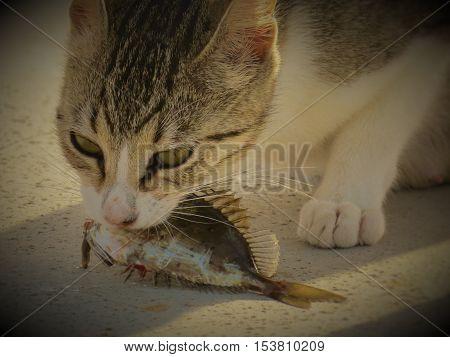 Fish-eating cats. Beach belly to feed çalışıyor.halikarnas-Turkey