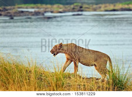 Solitary Lion walking along the bank on The Zambezi River