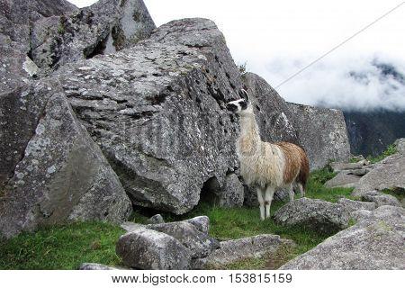 Llama in Machu Picchu, Peru - Llama, fog and rocks