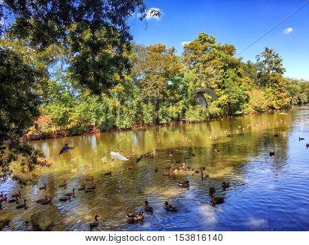ducks and ibis enjoy the pond in Audubon Park New Orleans