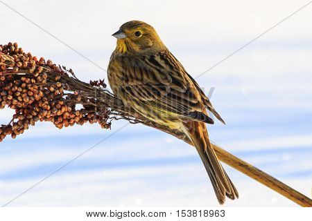 Emberiza citrinella feeding on winter day, colorful bird, birds winter nomadic birds, yellowhammer