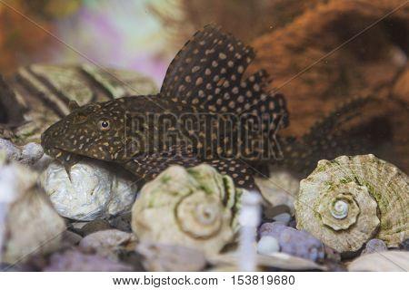 Separate Odinary Corydoras Paleatus Individual known as Sheatfishin in Personal Aquarium Indoors. Horizontal Image