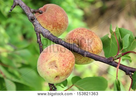 Apricots growing on the tree branch. Apricot branch with fruits in the garden. Ripening apricots.