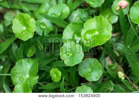 Gotu kola, Asiatic pennywort, Indian pennywort with water drops