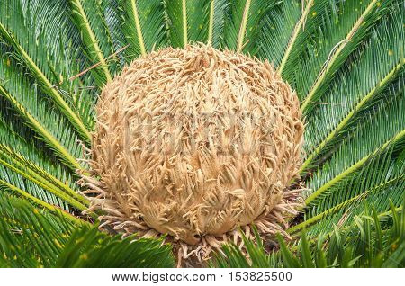 Cycas Revoluta Plant. Also Known As Sagu De Jardim In Brazil. Flower With Center More Evolved. Golde