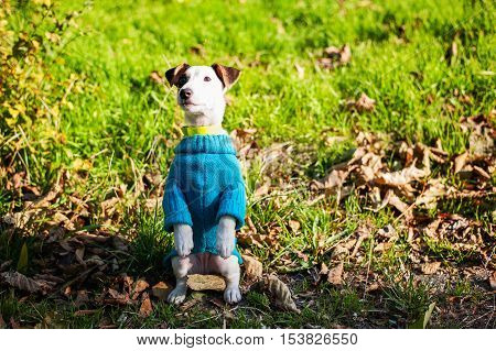 Jack Russell Terrier Sitting On Hind Legs At Park
