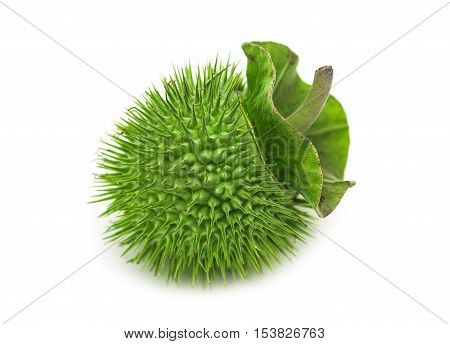 Jimsonweed fruit. on white background. Selective focus