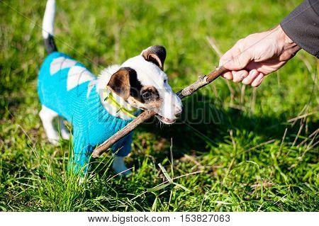 Cute Little Dog With Pleasure Gnawing Wooden Stick In Grass