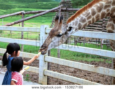 Chiang Rai Thailand Aug28 2016: Two girls watching and feeding giraffe during a trip to a city zoo at Singh's Park Chiang Rai -Thailand.