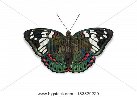 Common Gaudy Baron Butterfly