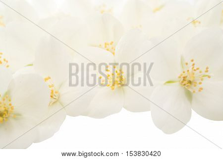 elegance jasmine flower on a white background