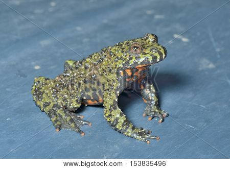 A close up of the frog (Far-eastern Fire-bellied Toad) (Bombina orientalis).