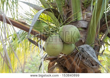 closed up the coconut tree in a flied