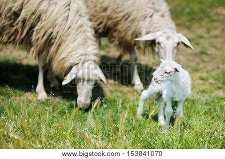 Little lamb in Italian fields on summer day