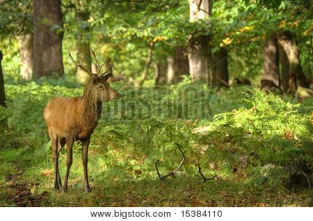 Red Deer Ands Stag During Rut Season In Richmond Park London England