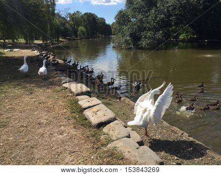 large white goose in Audubon Park in New Orleans.  Ducks in lake.  Black Bellied Whistling ducks swimming in pond
