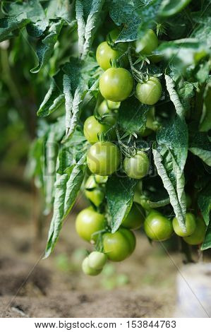 Tomato plant sprayed with protective mixture against infections