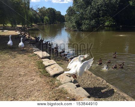 large white goose in Audubon Park in New Orleans.  Ducks in lake.  Black Bellied Whistling ducks