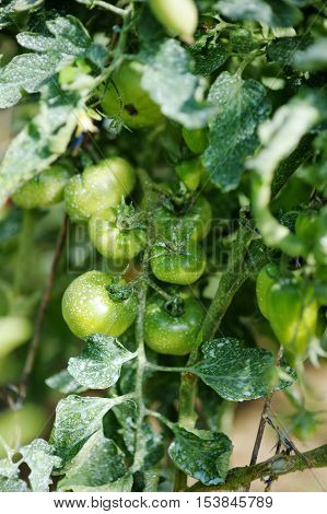 Green Tomato Plant Sprayed With Chemical Mixture