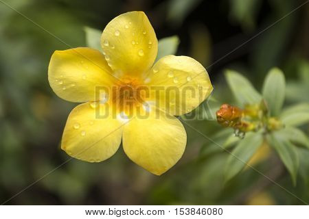 Allamanda Common allamanda Golden trumpet Golden trumpet vine Yellow bell