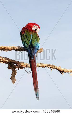 beautiful parrot macaw on blue sky background.