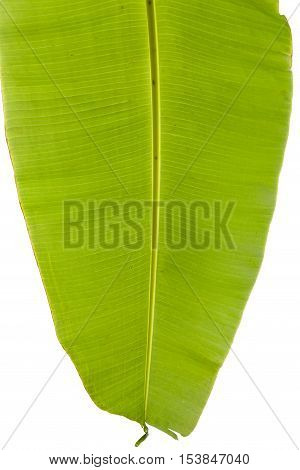The Banana green leaf on white background.