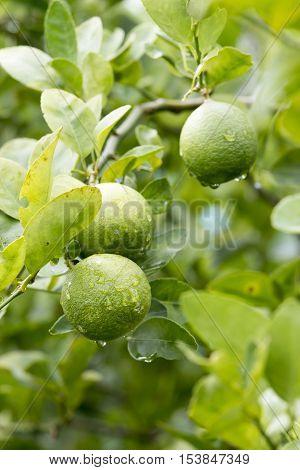 agriculture Fresh lemon fruit on tree in the morning.